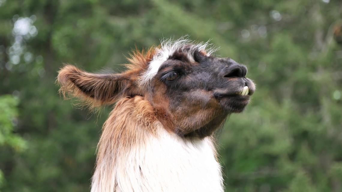 Meet the super-friendly llamas of Vashon Llamas