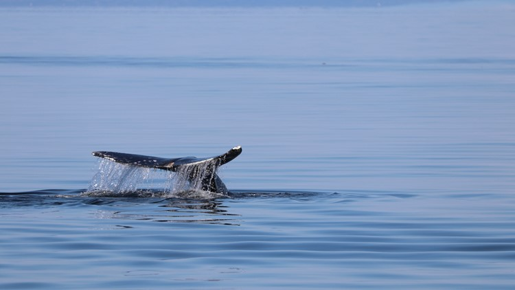Could gray whales return to Puget Sound year-round in search of food?