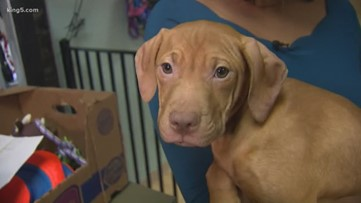 37 dogs rescued from suspected dogfighting ring are ready for adoption in Tacoma