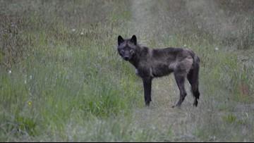 Woodinville farm teaches how to coexist with wild predators