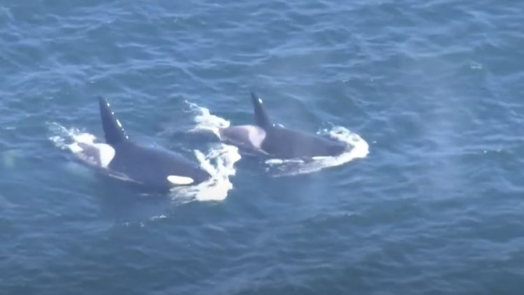 WATCH: Orcas out for a swim in Puget Sound Friday