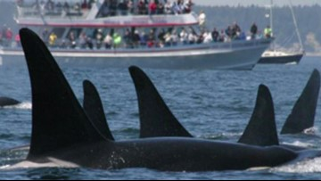 Debate continues whether whale watching hurts or harms Southern Resident orcas