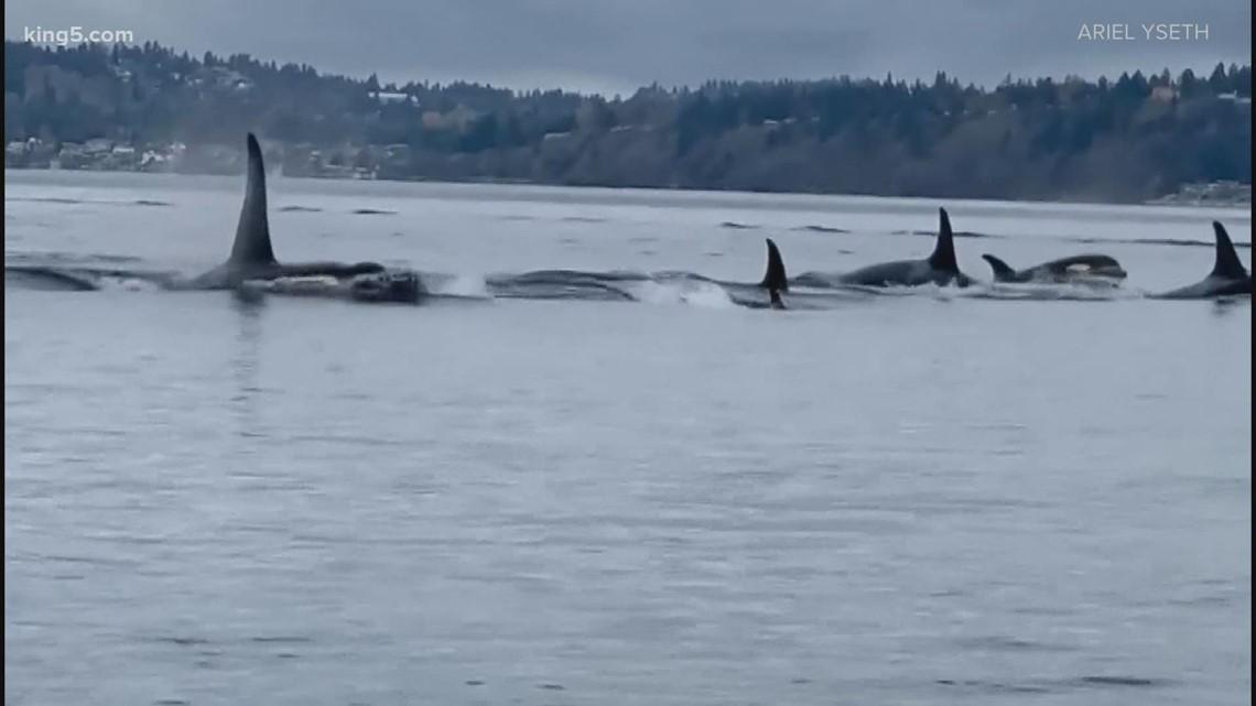 J-pod orcas spotted near Point Robinson
