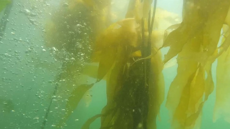 An Amazon rainforest of the sea fights for survival beneath Puget Sound