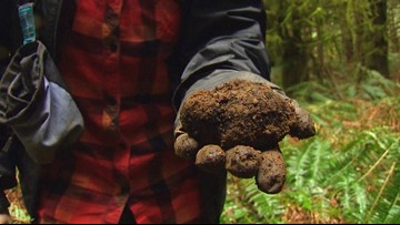 Hunting for truffles in the Pacific Northwest