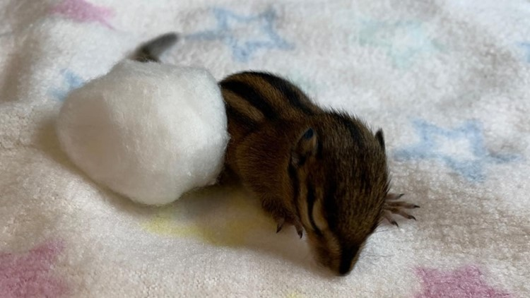 Orphaned baby chipmunk from Sarvey Wildlife Care Center