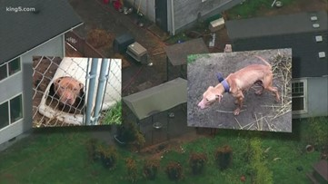 Pierce County dog-fighting suspect will not get confiscated animals back