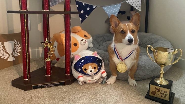 This adorable corgi is a back to back champion at Emerald Downs
