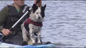 Border collies protecting parks from goose poop - KING 5 Evening