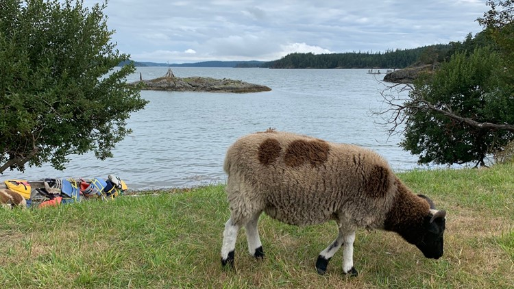 Sheep near water