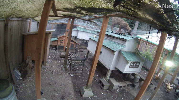 VIDEO: Bobcat caught stalking chickens at Woodinville home