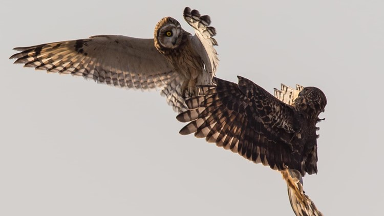 Owl and hawk fight