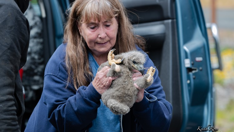Sequim eaglet rescue - Photos by Keith Ross