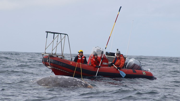 Teams attempt to cut the lines entangling the gray whale. (Photo: NOAA)