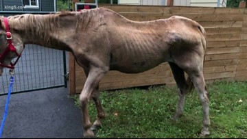 Emaciated horse dies as King County officials search for its owners