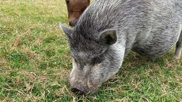 This Orcas Island inn lets you hang out with adorable farm animals - KING 5 Evening