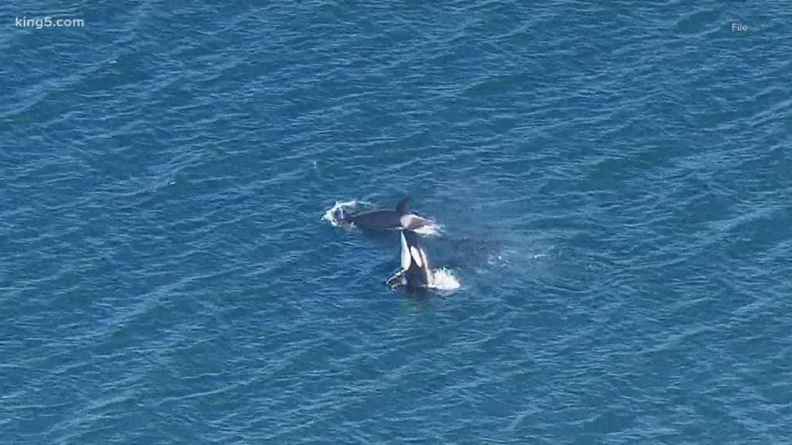 Boaters caught on camera harassing pod of orcas