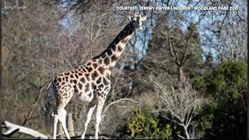 Seattle's pregnant giraffe is due any day at Woodland Park Zoo