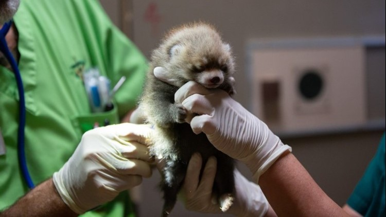 Woodland Park Zoo's 3-week-old red panda cubs are healthy and continue to thrive. Mom Hazel and her twin cubs live off view and are monitored via a den cam. (Credit: Jeremy Dwyer-Lindgren/Woodland Park Zoo)