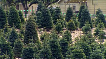 What to look for when picking out the perfect Christmas tree