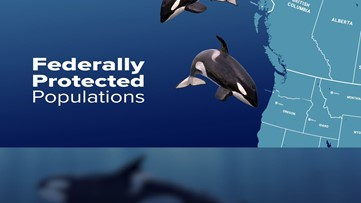 Orca population: Only 73 Southern Resident killer whales left in the wild