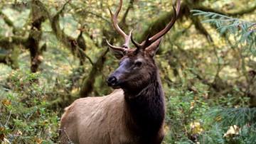 Elk cost Skagit County farmers $1.4 million a year, officials say