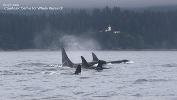 'We fear he may be gone': Orca L41 missing from pod in Northwest waters