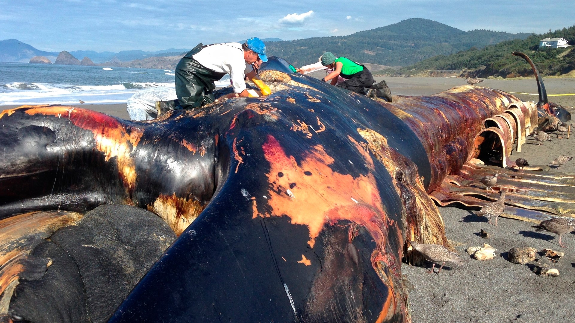 Scientists to study rare, intact blue whale carcass washed ...