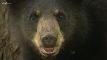 Timber farm bear hunts face more delays