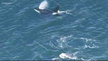 Human and animal fecal matter may impact the health of Southern Resident orcas