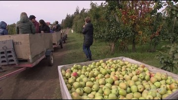 Washington's apple crop is one of the largest in history