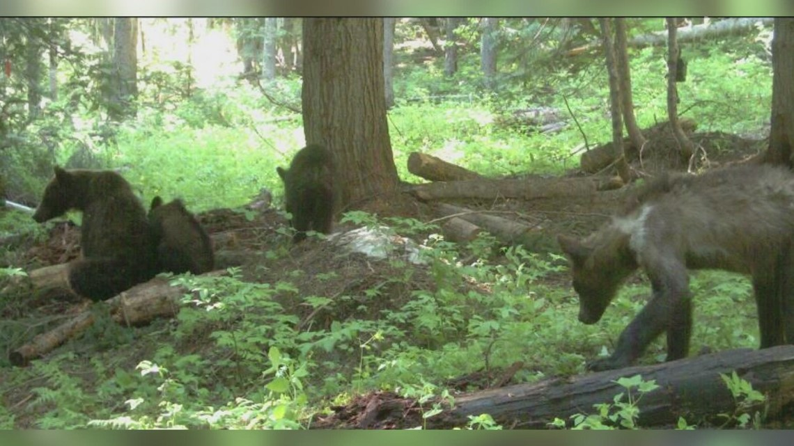 1st female grizzly collared, tracked by biologists in Washington