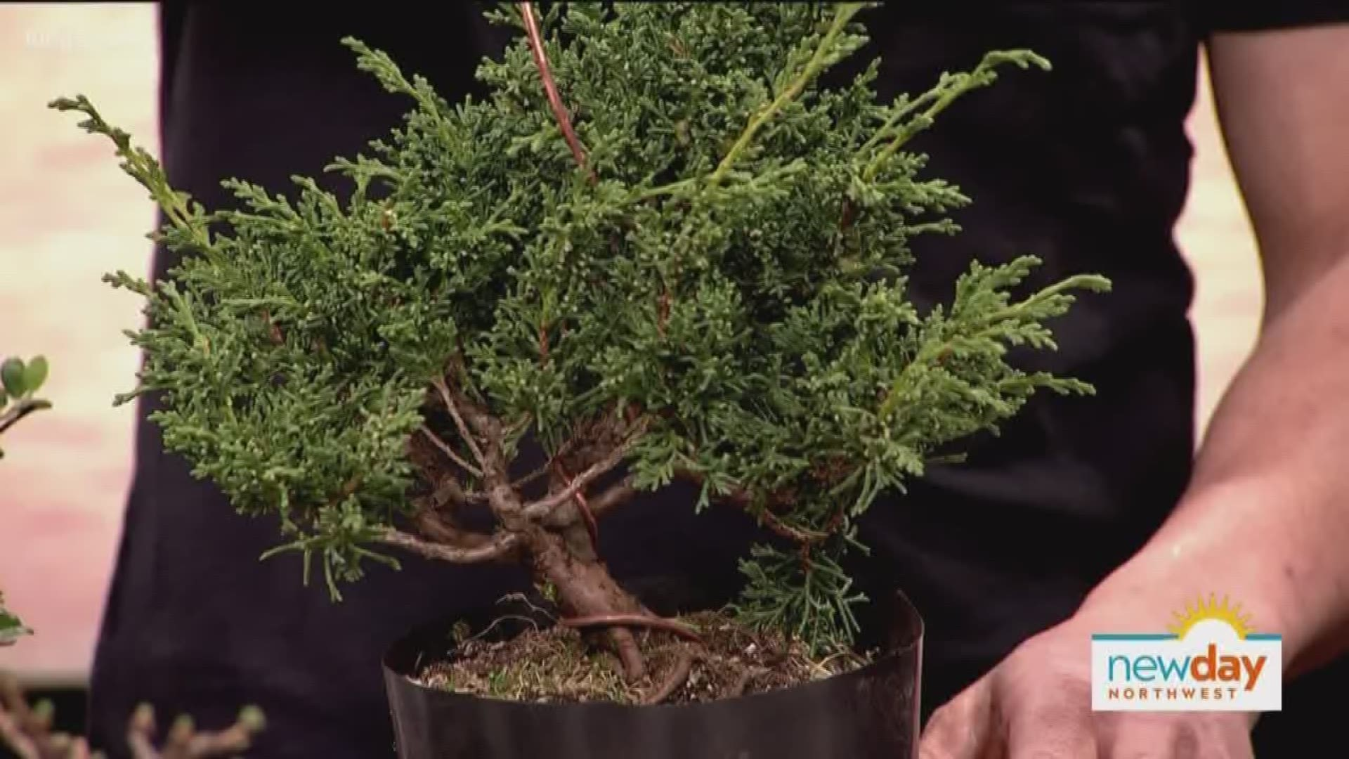 Learn The Art Of The Bonsai From A Local Master To Ease Your Busy Mind King5 Com