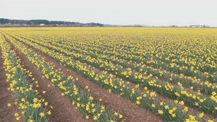 Spring is here! See birds-eye view of Skagit Valley daffodils in bloom