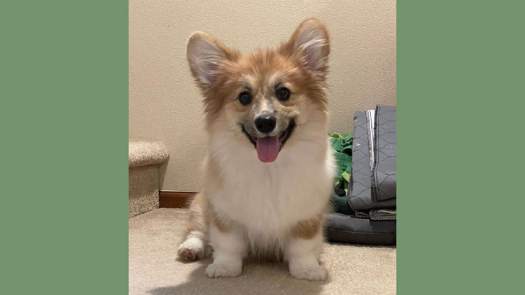 Vote 'Ellie the Fluffy Corgi' from Lynnwood to win America's Favorite Pet