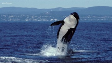 Group considers cove for retired theme park orcas in San Juan Islands