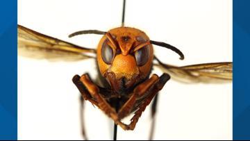 WSU seeks public's help hunting invasive Asian Giant Hornet