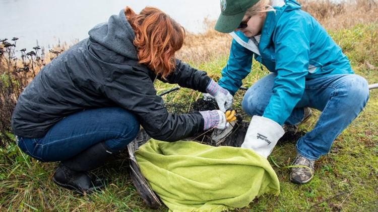 Bald Eagle rescue in Tacoma