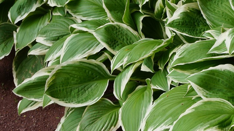 Get that shovel out, it's time to divide those hosta plants!