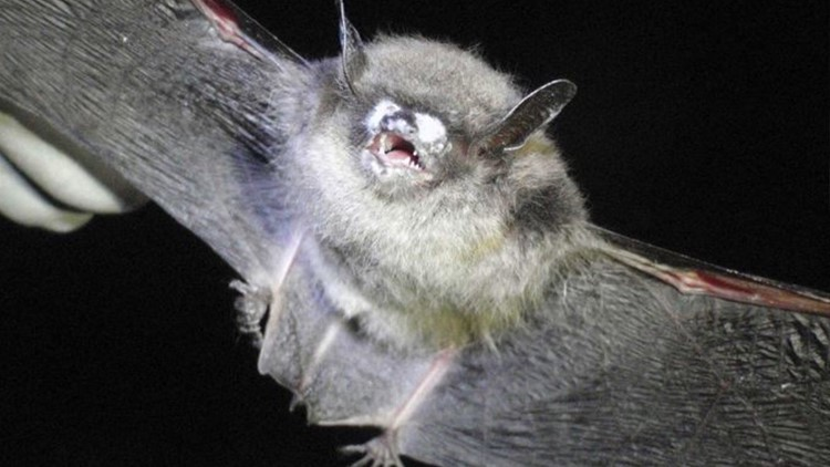 Invasive fungus that harms bats is spreading in Washington