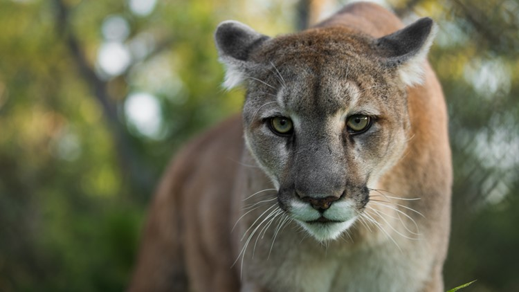 How to deal with a cougar