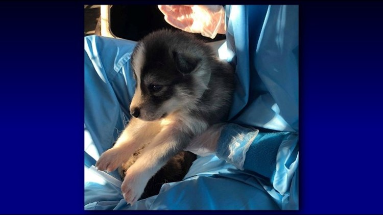 wolfdog puppy 3 happe