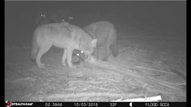 WDFW kills 4 members of OPT wolf pack due to cattle attacks