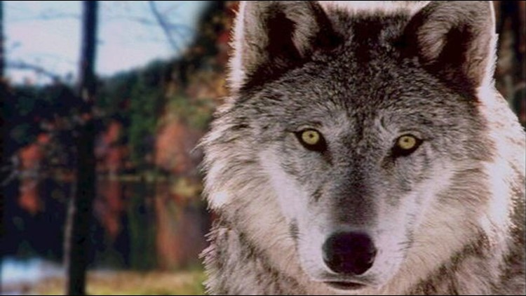Woman surrounded by wolves in Central Washington rescued from tree