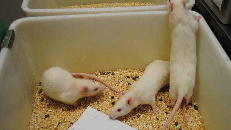 Rats in WSU study