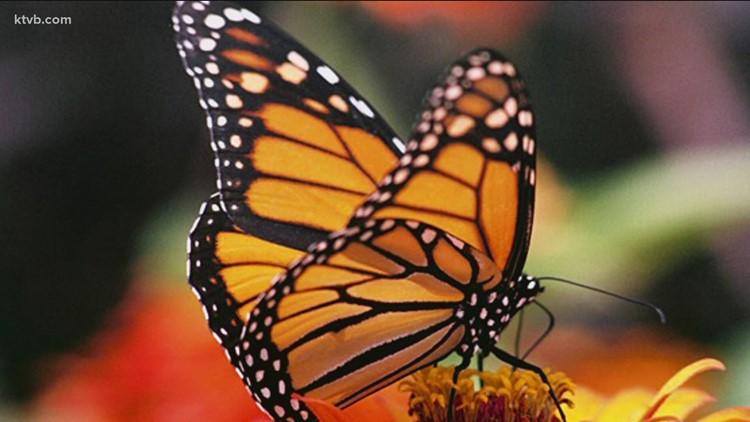 How you can help honeybees and butterflies in your garden