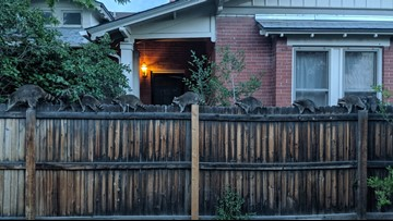 This Denver man's yard was graced with a 'conga line' of raccoons