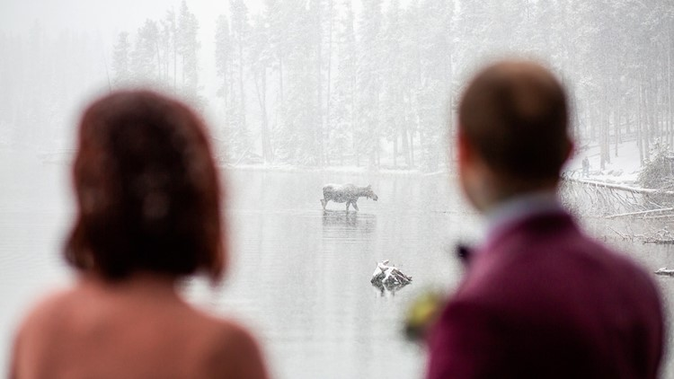 Moose wedding