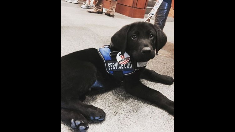 This Is Duke as a puppy! The service vest isn't necessary, but it helps to avoid questions, confrontation, and distractions for a working animal. (Photo courtesy of the author)