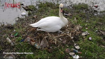 Images Showing Swans Building Nest Out of Trash & Litter, Raises Concerns By Officials